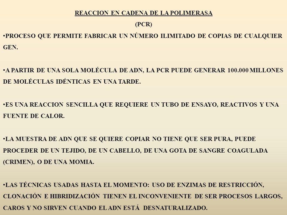 REACCION EN CADENA DE LA POLIMERASA (PCR) PROCESO QUE PERMITE FABRICAR UN NÚMERO ILIMITADO DE COPIAS DE CUALQUIER GEN. A PARTIR DE UNA SOLA MOLÉCULA D