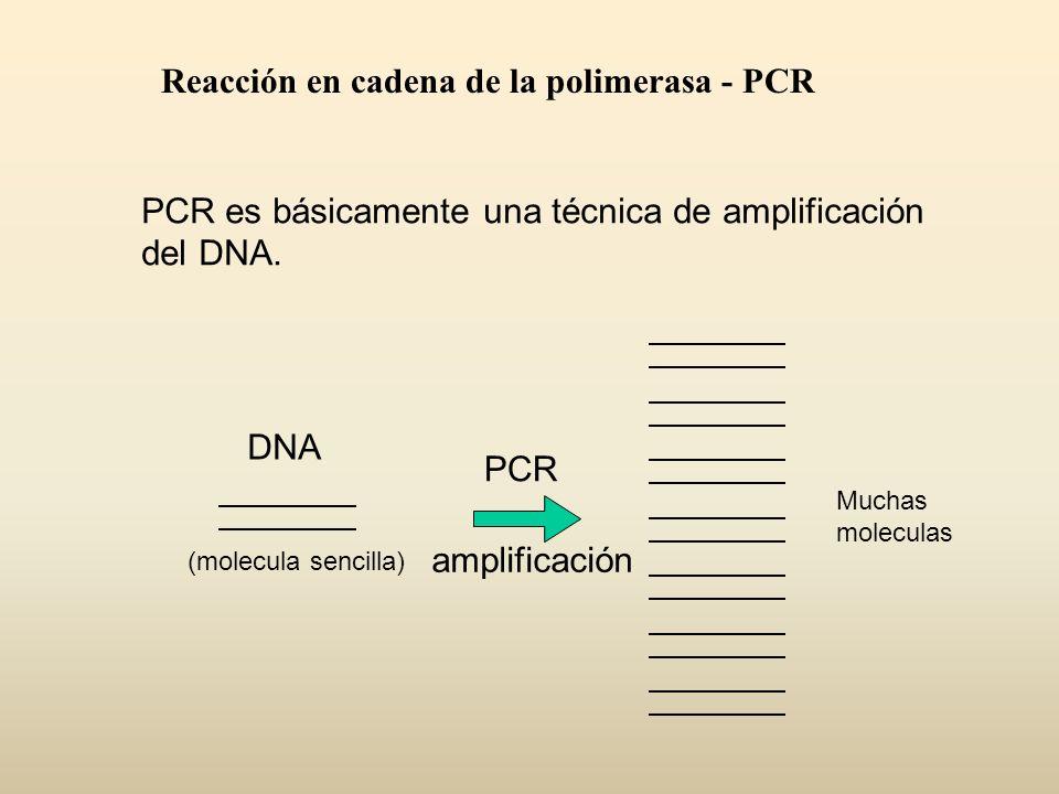 Reacción en cadena de la polimerasa - PCR PCR es básicamente una técnica de amplificación del DNA. PCR amplificación DNA (molecula sencilla) Muchas mo