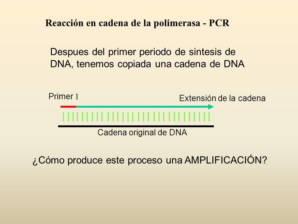 Despues del primer periodo de sintesis de DNA, tenemos copiada una cadena de DNA Primer 1 Extensión de la cadena Cadena original de DNA ¿Cómo produce