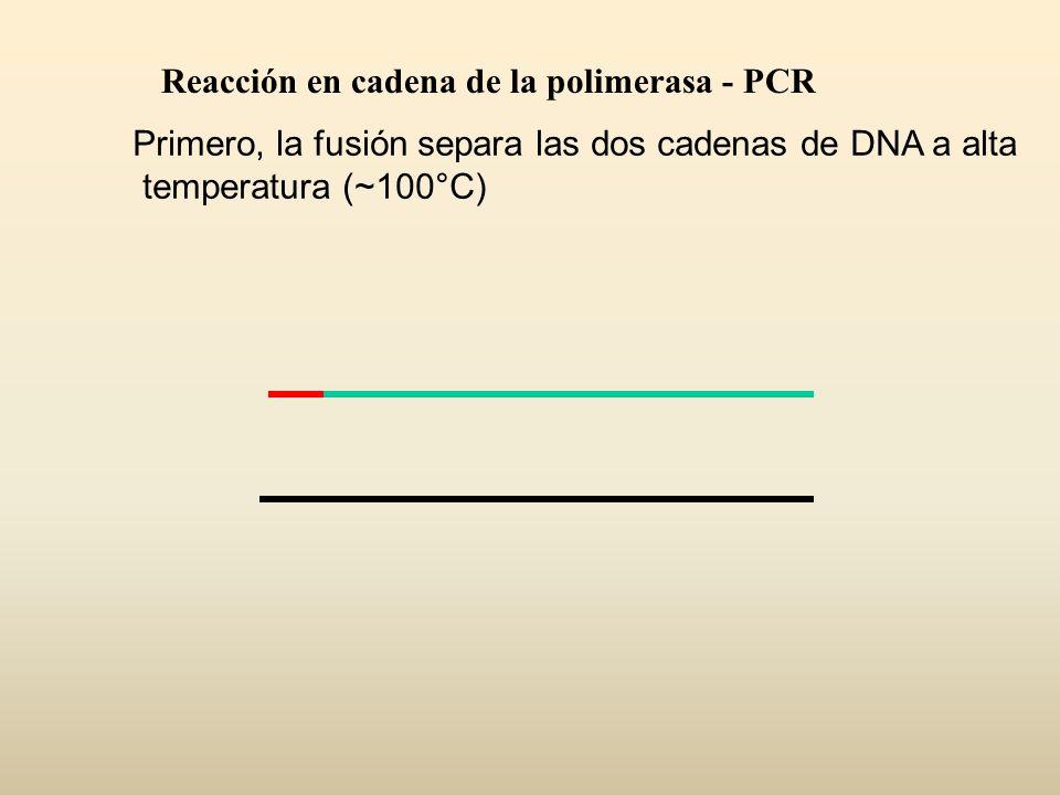 Primero, la fusión separa las dos cadenas de DNA a alta temperatura (~100°C) Reacción en cadena de la polimerasa - PCR