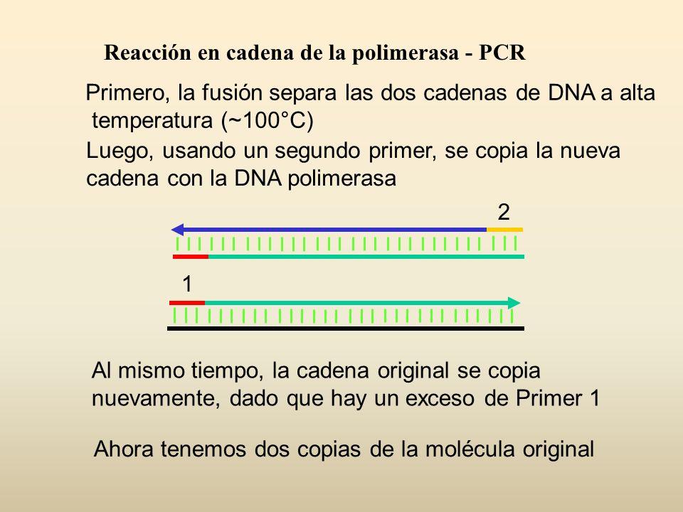Primero, la fusión separa las dos cadenas de DNA a alta temperatura (~100°C) Luego, usando un segundo primer, se copia la nueva cadena con la DNA poli