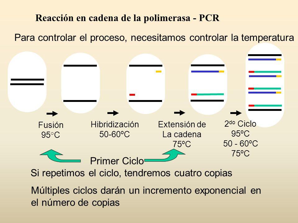 Para controlar el proceso, necesitamos controlar la temperatura Si repetimos el ciclo, tendremos cuatro copias Reacción en cadena de la polimerasa - P