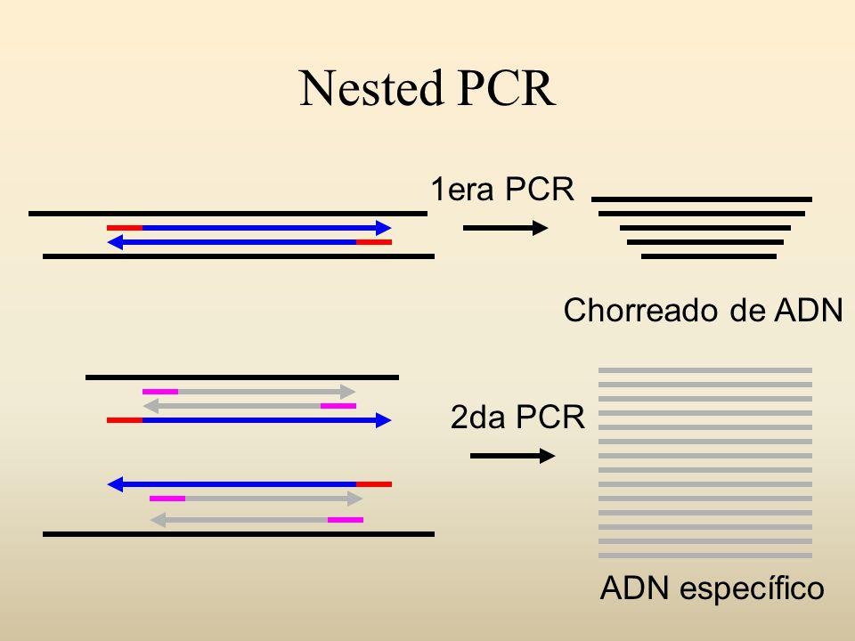 Nested PCR 2da PCR Chorreado de ADN 1era PCR ADN específico