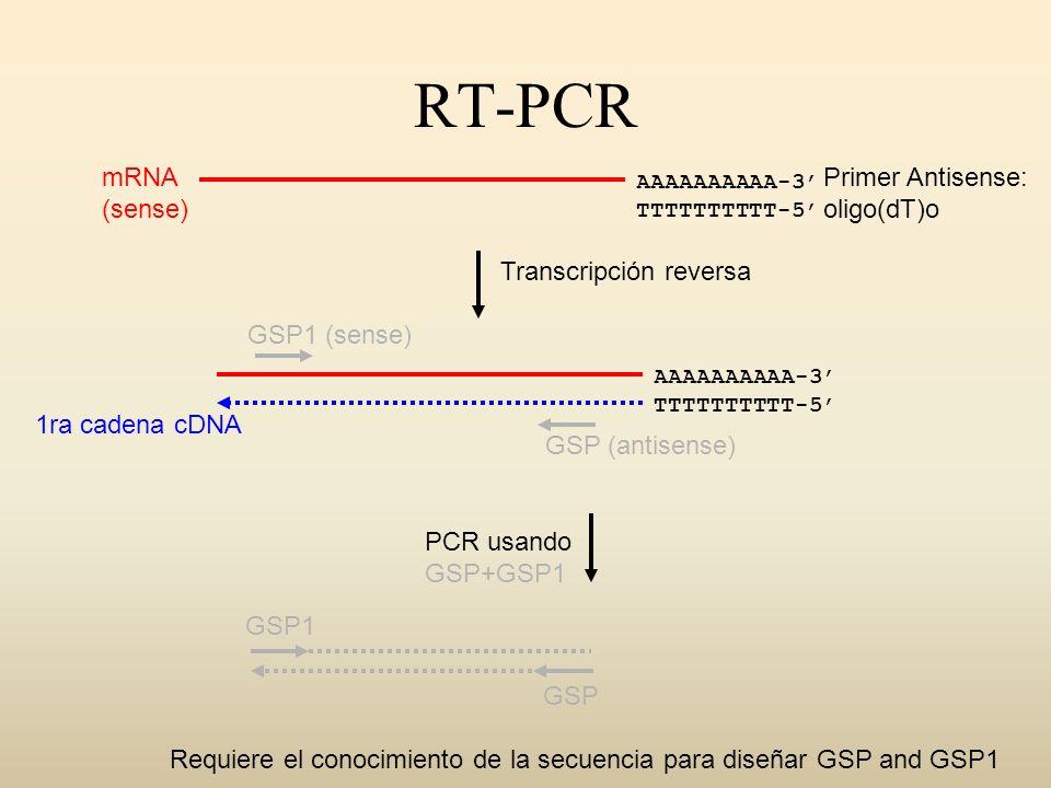 RT-PCR AAAAAAAAAA-3 TTTTTTTTTT-5 Transcripción reversa PCR usando GSP+GSP1 AAAAAAAAAA-3 TTTTTTTTTT-5 mRNA (sense) Primer Antisense: oligo(dT)o 1ra cad