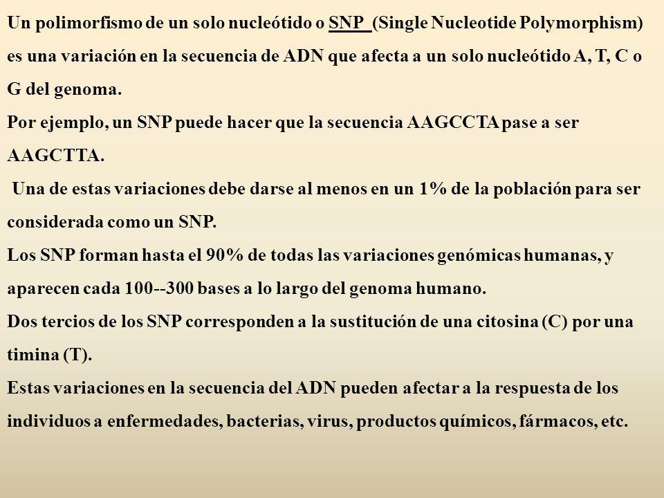 Un polimorfismo de un solo nucleótido o SNP (Single Nucleotide Polymorphism) es una variación en la secuencia de ADN que afecta a un solo nucleótido A