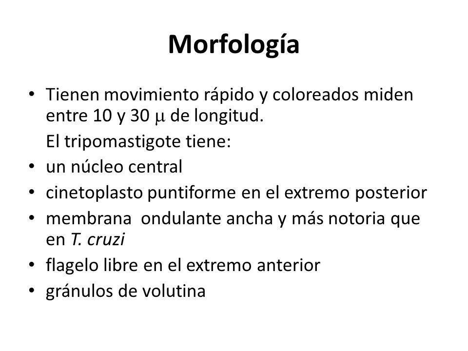 Morfología Tienen movimiento rápido y coloreados miden entre 10 y 30 de longitud. El tripomastigote tiene: un núcleo central cinetoplasto puntiforme e