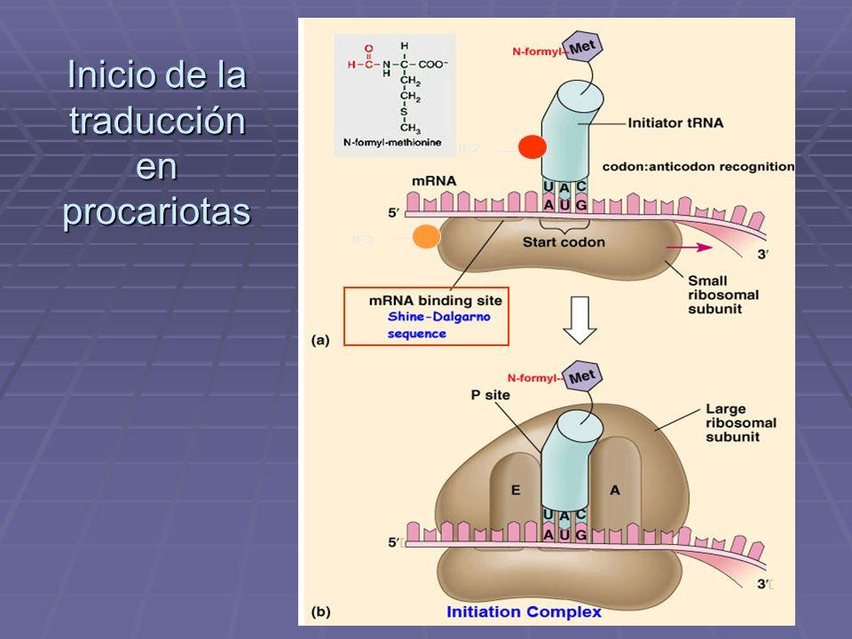 Inicio de la traducción en procariotas IF-2 IF-3