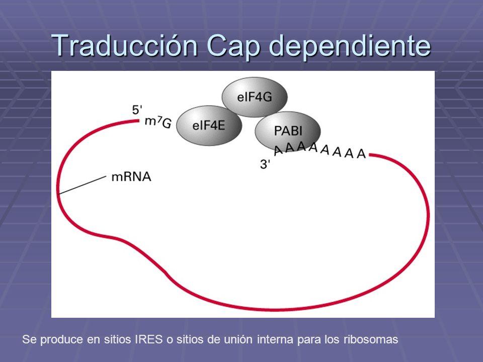 Traducción Cap dependiente Se produce en sitios IRES o sitios de unión interna para los ribosomas