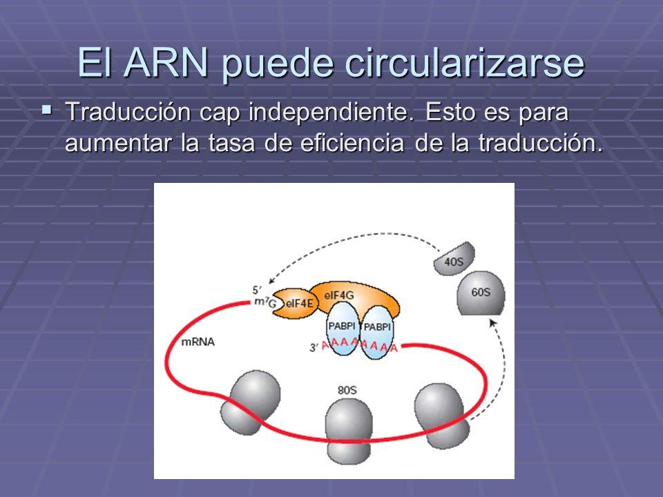 El ARN puede circularizarse Traducción cap independiente. Esto es para aumentar la tasa de eficiencia de la traducción. Traducción cap independiente.