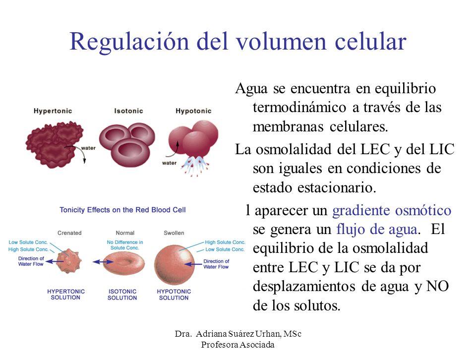 Regulación del volumen celular Agua se encuentra en equilibrio termodinámico a través de las membranas celulares. La osmolalidad del LEC y del LIC son