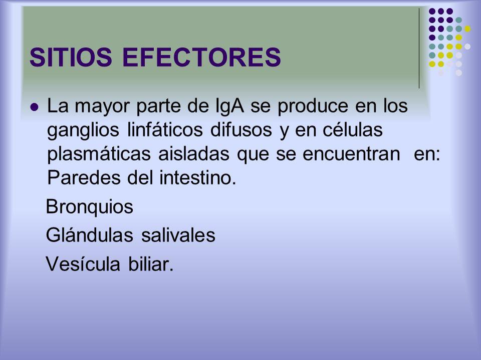 SITIOS EFECTORES La mayor parte de IgA se produce en los ganglios linfáticos difusos y en células plasmáticas aisladas que se encuentran en: Paredes d