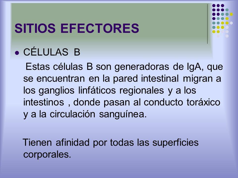 SITIOS EFECTORES CÉLULAS B Estas células B son generadoras de IgA, que se encuentran en la pared intestinal migran a los ganglios linfáticos regionale