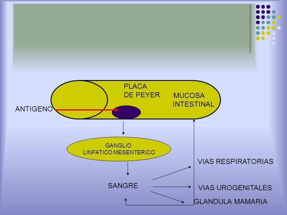 MUCOSA INTESTINAL ANTIGENO PLACA DE PEYER GANGLIO LINFATICO MESENTERICO SANGRE VIAS RESPIRATORIAS GLANDULA MAMARIA VIAS UROGENITALES