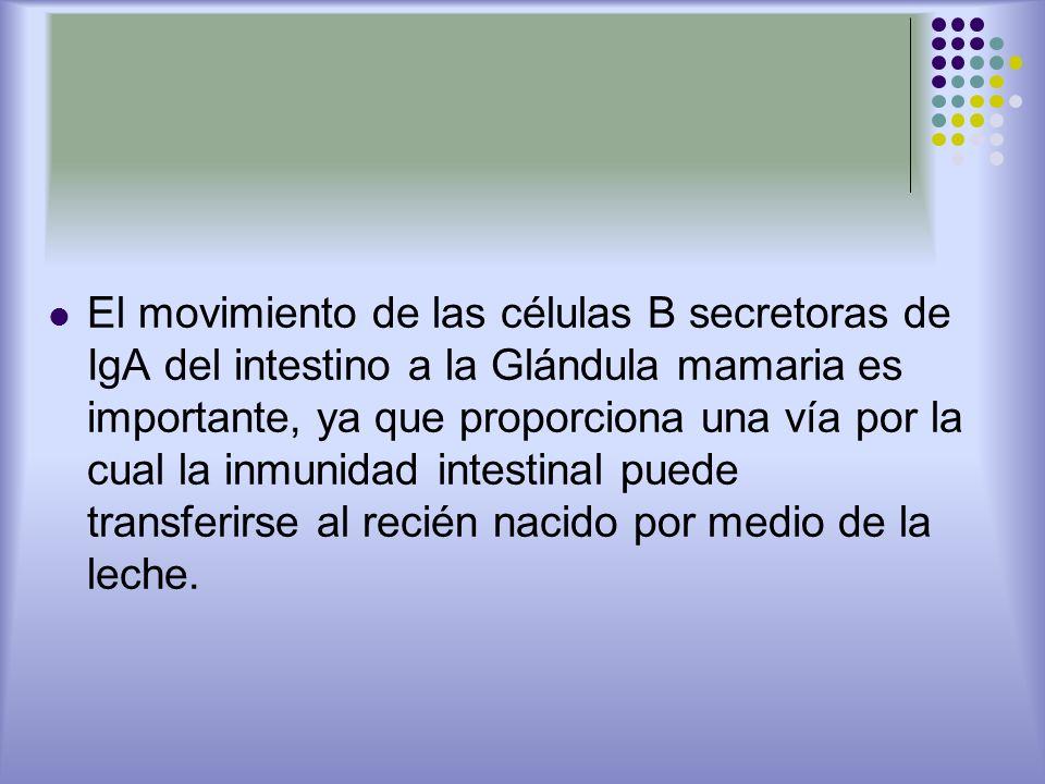 El movimiento de las células B secretoras de IgA del intestino a la Glándula mamaria es importante, ya que proporciona una vía por la cual la inmunida