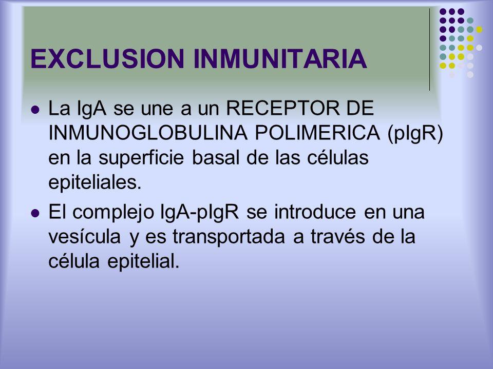 EXCLUSION INMUNITARIA La IgA se une a un RECEPTOR DE INMUNOGLOBULINA POLIMERICA (pIgR) en la superficie basal de las células epiteliales. El complejo