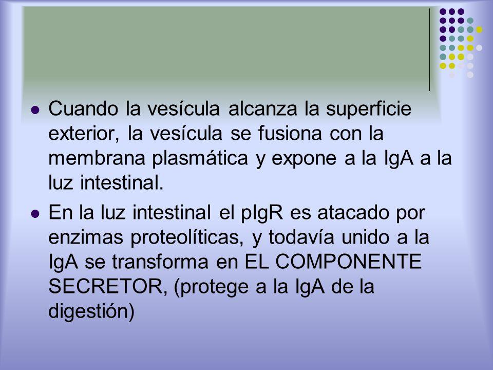Cuando la vesícula alcanza la superficie exterior, la vesícula se fusiona con la membrana plasmática y expone a la IgA a la luz intestinal. En la luz