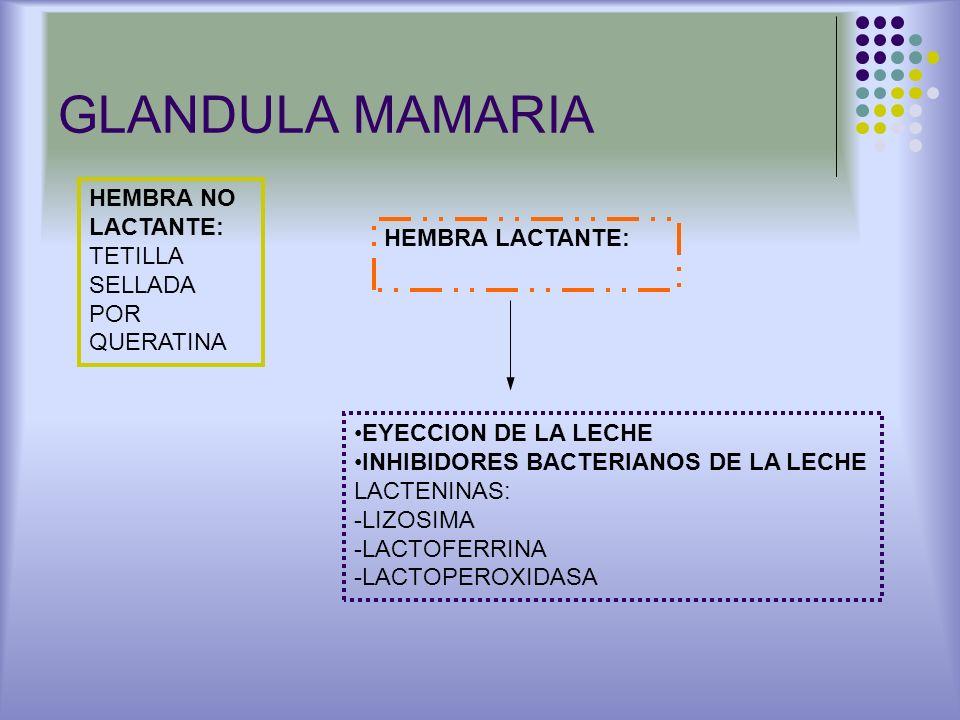 GLANDULA MAMARIA HEMBRA NO LACTANTE: TETILLA SELLADA POR QUERATINA HEMBRA LACTANTE: EYECCION DE LA LECHE INHIBIDORES BACTERIANOS DE LA LECHE LACTENINA