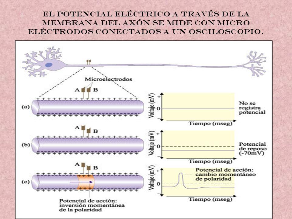 El potencial eléctrico a través de la membrana del axón se mide con micro eléctrodos conectados a un osciloscopio.