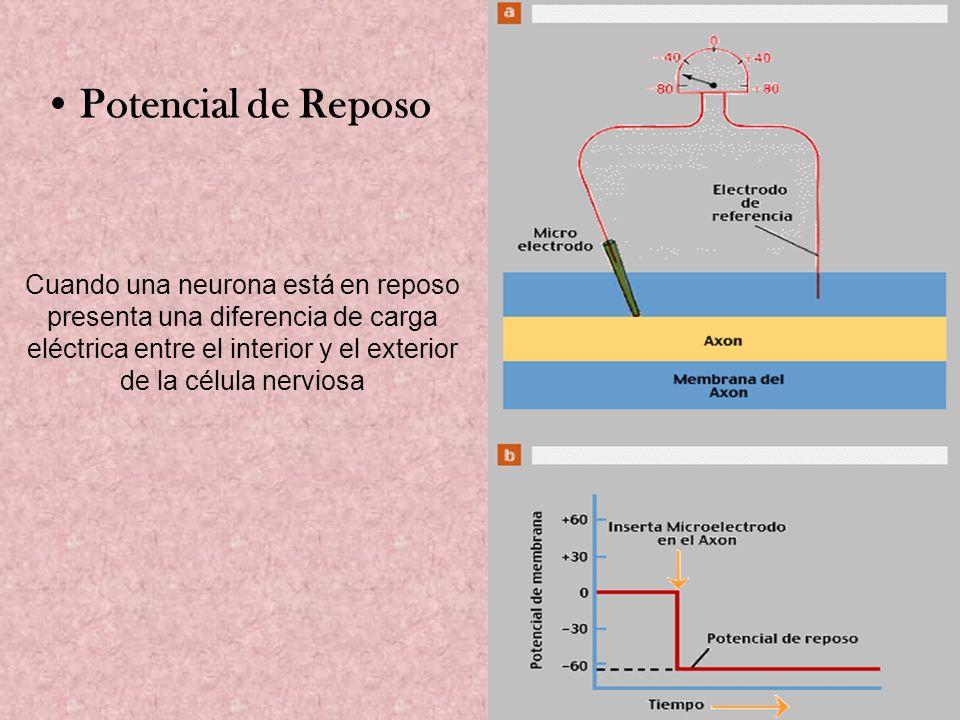 Cuando una neurona está en reposo presenta una diferencia de carga eléctrica entre el interior y el exterior de la célula nerviosa Potencial de Reposo