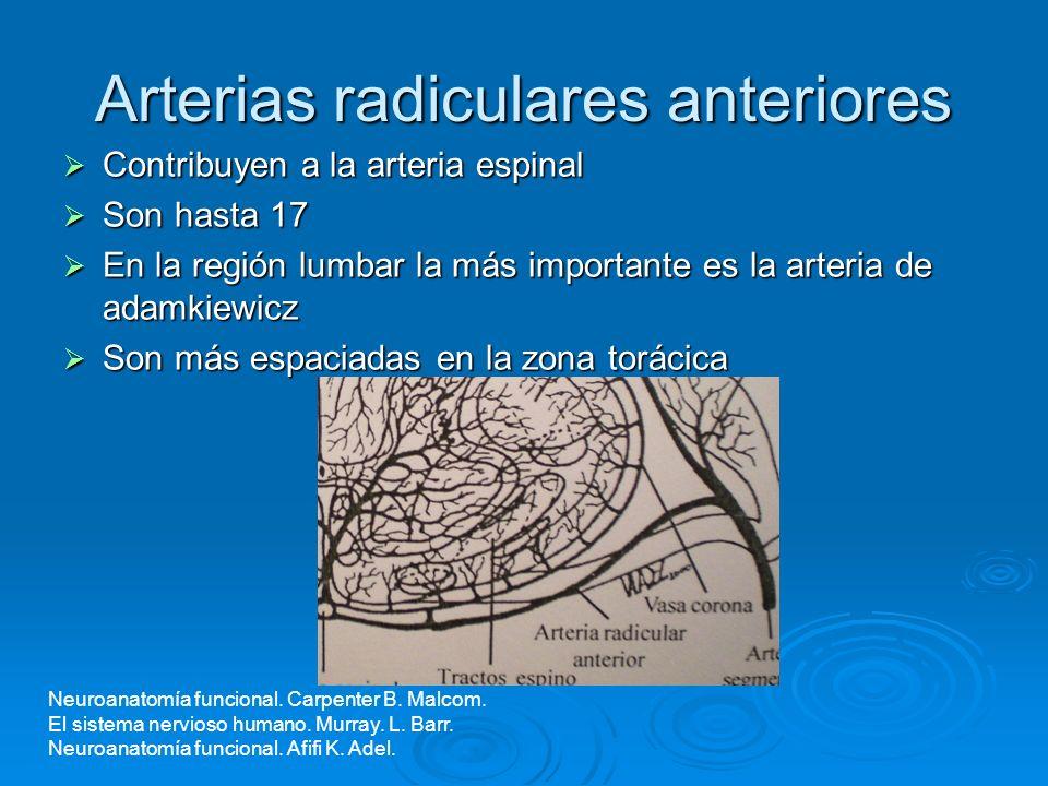 Arterias radiculares anteriores Contribuyen a la arteria espinal Contribuyen a la arteria espinal Son hasta 17 Son hasta 17 En la región lumbar la más