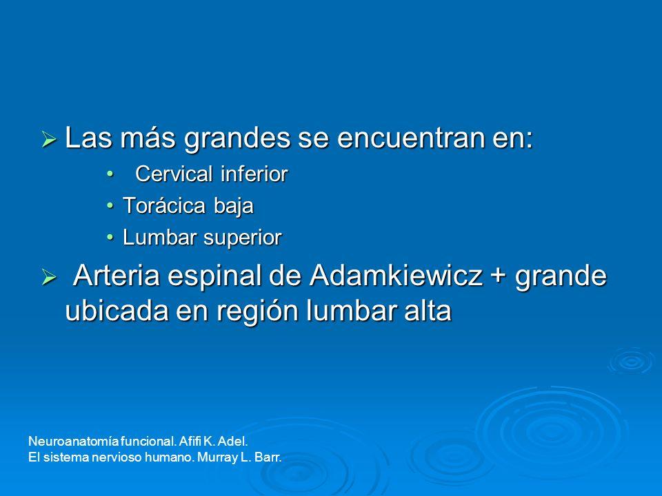 Las más grandes se encuentran en: Las más grandes se encuentran en: Cervical inferior Cervical inferior Torácica bajaTorácica baja Lumbar superiorLumb