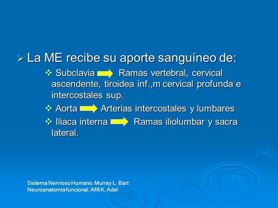 Se da por 3 canales arteriales: Se da por 3 canales arteriales: Espinal anterior Espinal anterior Espinal posterior (2) Espinal posterior (2) Corren longitudinalmente a través de toda la médula espinal Corren longitudinalmente a través de toda la médula espinal El sistema nervioso humano.