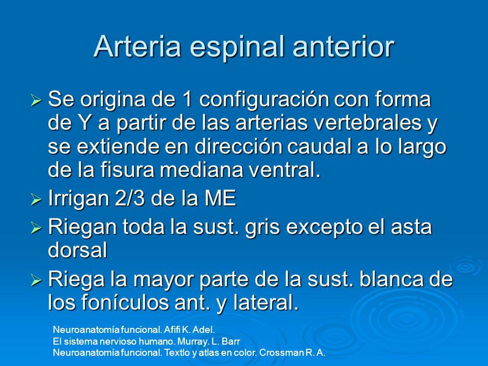 Arteria espinal posterior Cada una es 1 rama de arteria vertebral o de PICA, y son varios canales anastomóticos a lo largo de la línea de fijación de las raíces dorsales de los nervios raquídeos.