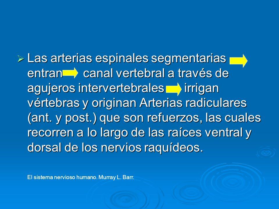 Las arterias espinales segmentarias entran canal vertebral a través de agujeros intervertebrales irrigan vértebras y originan Arterias radiculares (an