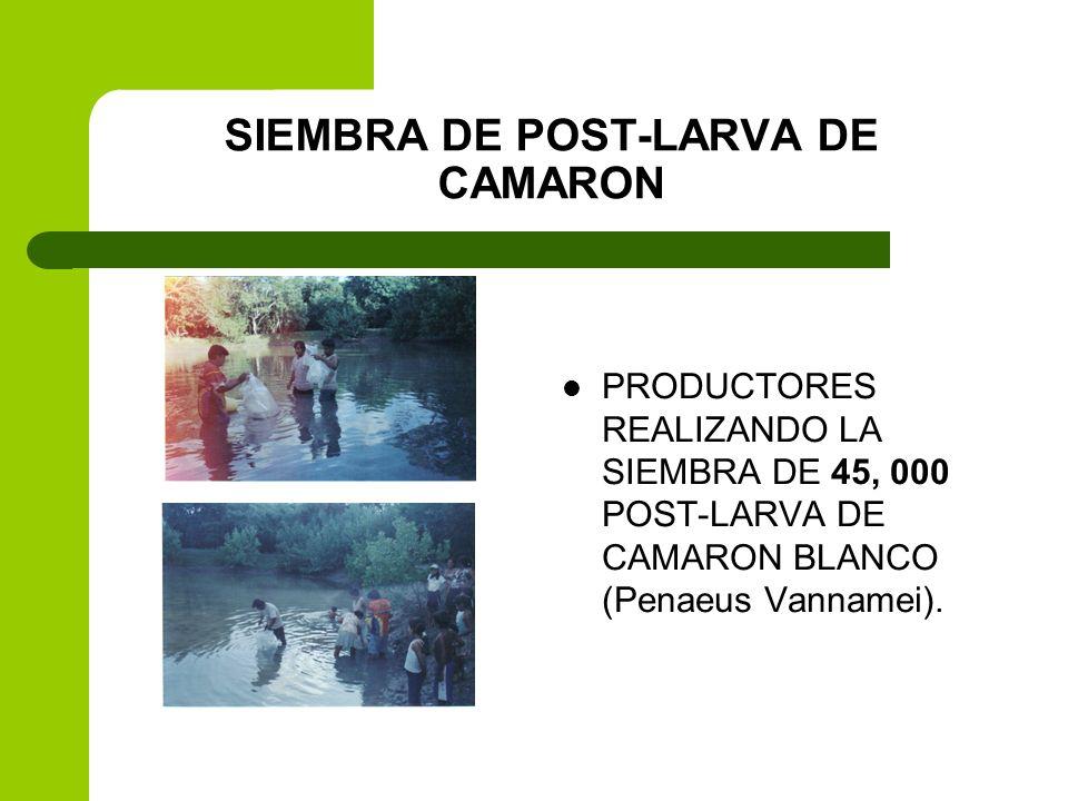 SIEMBRA DE POST-LARVA DE CAMARON PRODUCTORES REALIZANDO LA SIEMBRA DE 45, 000 POST-LARVA DE CAMARON BLANCO (Penaeus Vannamei).