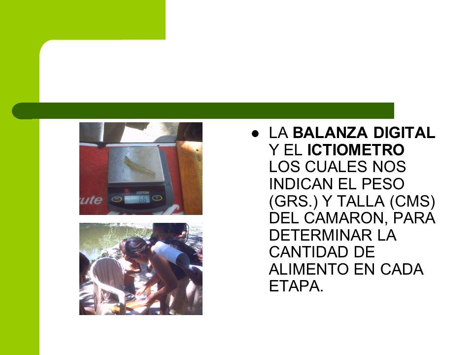 LA BALANZA DIGITAL Y EL ICTIOMETRO LOS CUALES NOS INDICAN EL PESO (GRS.) Y TALLA (CMS) DEL CAMARON, PARA DETERMINAR LA CANTIDAD DE ALIMENTO EN CADA ET