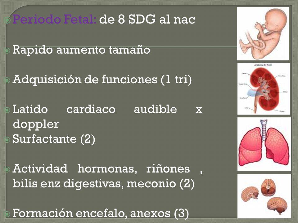 Periodo Fetal: de 8 SDG al nac Rapido aumento tamaño Adquisición de funciones (1 tri) Latido cardiaco audible x doppler Surfactante (2) Actividad horm