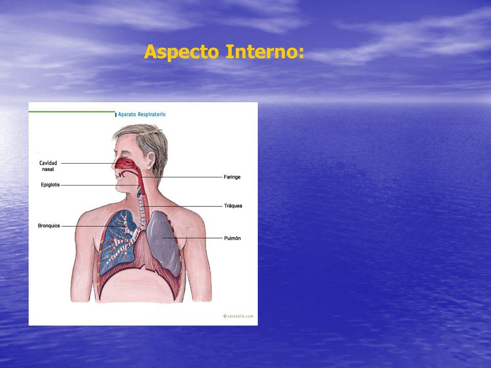 Aparato respiratorio Aparato respiratorio –Pulmones aumentados de volumen y congestión –Tejido espeso y edematoso –Espuma en traquea, bronquios y alvéolos –Mezcla de agua, cieno y tierra –Restos de alimentos en vías aéreas –Placas rojas hemorrágicas Aspecto Interno: