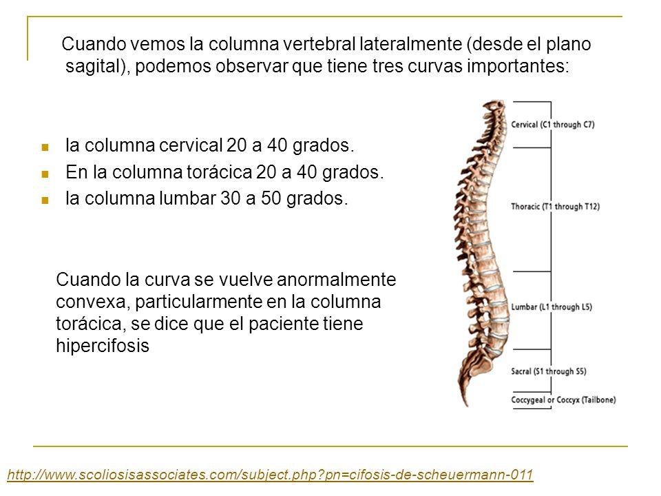 Cuando vemos la columna vertebral lateralmente (desde el plano sagital), podemos observar que tiene tres curvas importantes: la columna cervical 20 a
