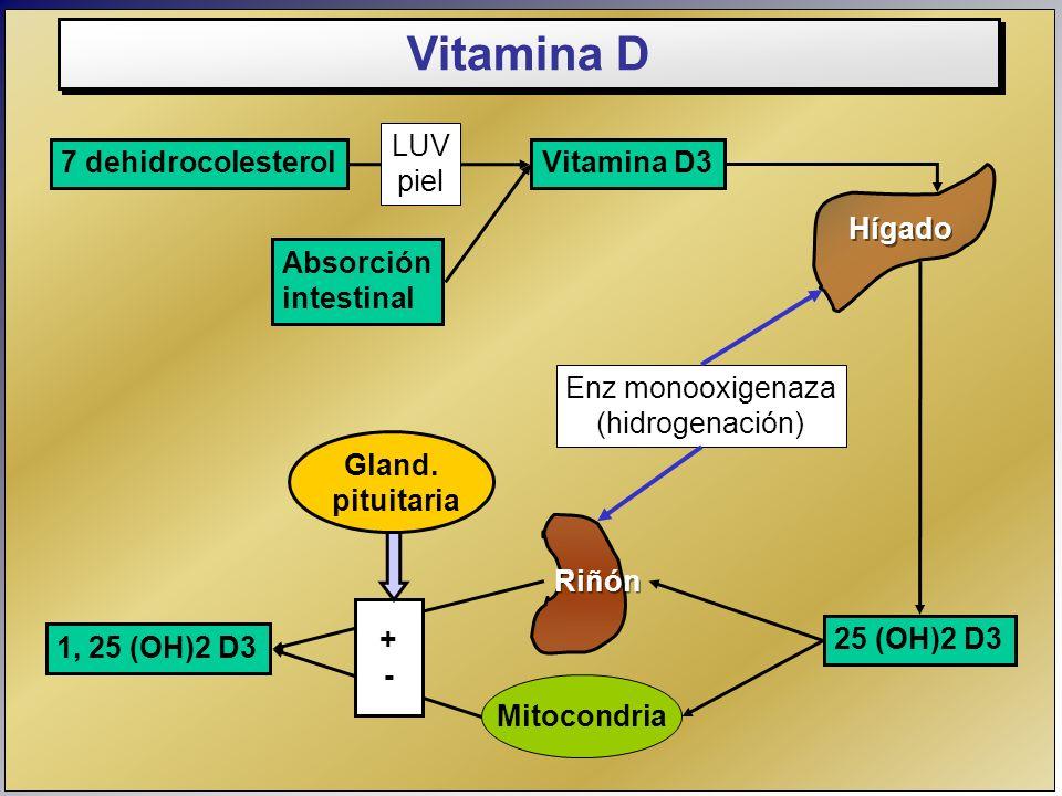 Gland. pituitaria Hígado Riñón 7 dehidrocolesterolVitamina D3 25 (OH)2 D3 1, 25 (OH)2 D3 LUV piel Absorción intestinal Enz monooxigenaza (hidrogenació