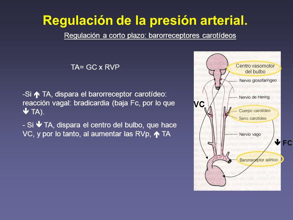 Regulación de la presión arterial. Regulación a corto plazo: barorreceptores carotídeos Centro vasomotor del bulbo TA= GC x RVP -Si TA, dispara el bar