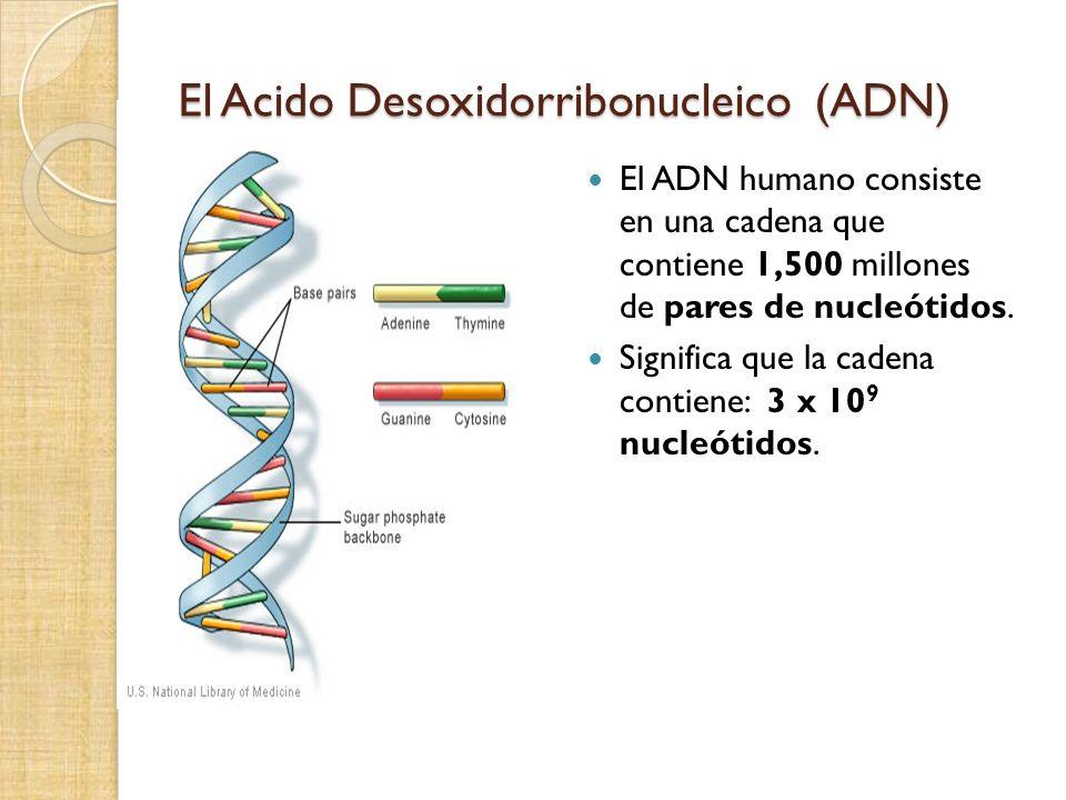 El Acido Desoxidorribonucleico (ADN) El ADN humano consiste en una cadena que contiene 1,500 millones de pares de nucleótidos.