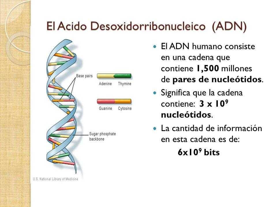 El Acido Desoxidorribonucleico (ADN) El ADN humano consiste en una cadena que contiene 1,500 millones de pares de nucleótidos. Significa que la cadena