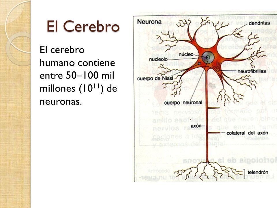 El cerebro humano contiene entre 50–100 mil millones (10 11 ) de neuronas.