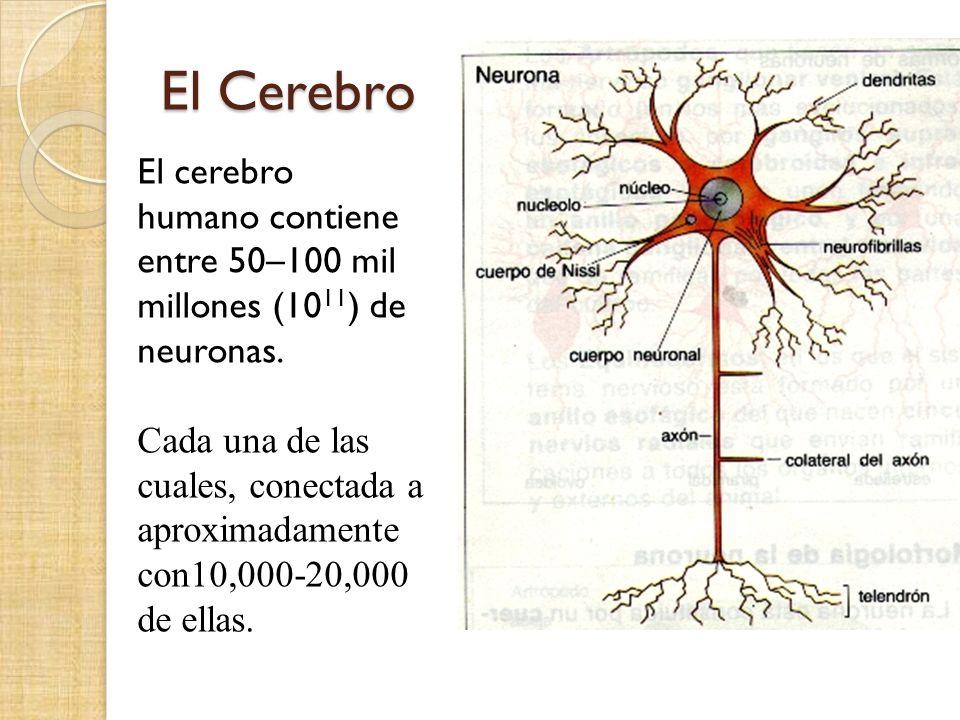El Cerebro El cerebro humano contiene entre 50–100 mil millones (10 11 ) de neuronas. Cada una de las cuales, conectada a aproximadamente con10,000-20