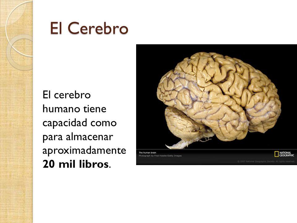 El Cerebro El cerebro humano tiene capacidad como para almacenar aproximadamente 20 mil libros.
