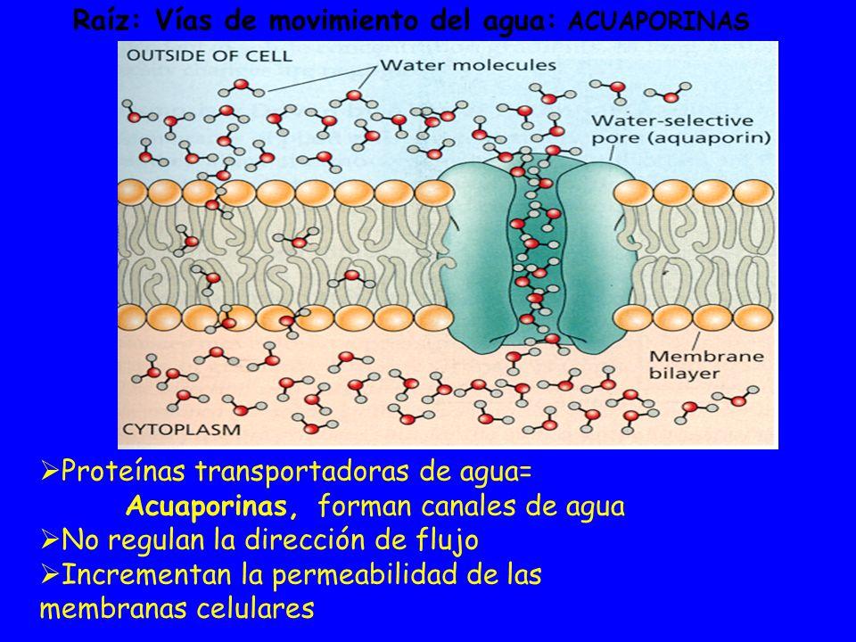 Proteínas transportadoras de agua= Acuaporinas, forman canales de agua No regulan la dirección de flujo Incrementan la permeabilidad de las membranas