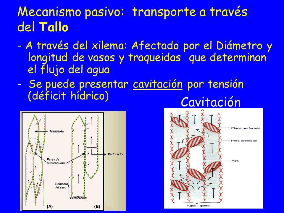 Mecanismo pasivo: transporte a través del Tallo - A través del xilema: Afectado por el Diámetro y longitud de vasos y traqueidas que determinan el flu