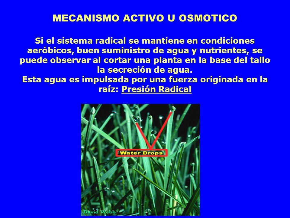 MECANISMO ACTIVO U OSMOTICO Si el sistema radical se mantiene en condiciones aeróbicos, buen suministro de agua y nutrientes, se puede observar al cor