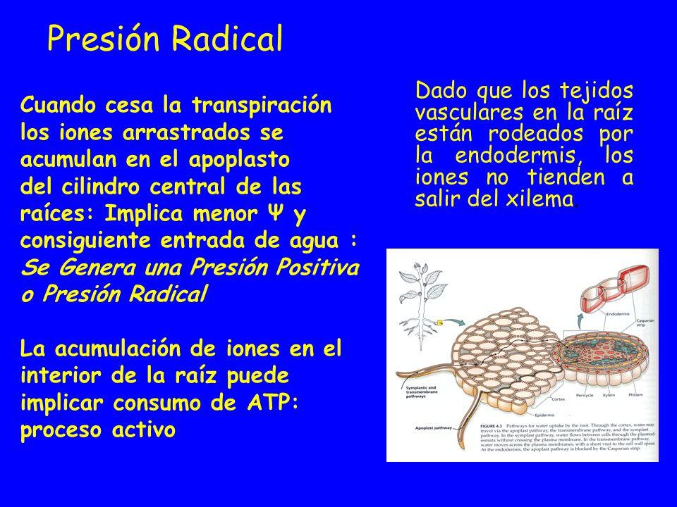 Presión Radical Dado que los tejidos vasculares en la raíz están rodeados por la endodermis, los iones no tienden a salir del xilema. Cuando cesa la t