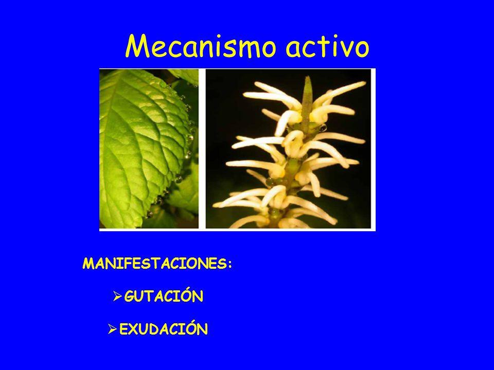 Mecanismo activo MANIFESTACIONES: GUTACIÓN EXUDACIÓN