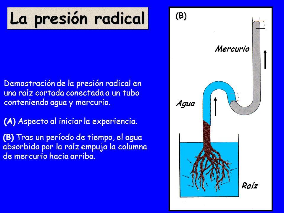 (A) Demostración de la presión radical en una raíz cortada conectada a un tubo conteniendo agua y mercurio. (A) Aspecto al iniciar la experiencia. La