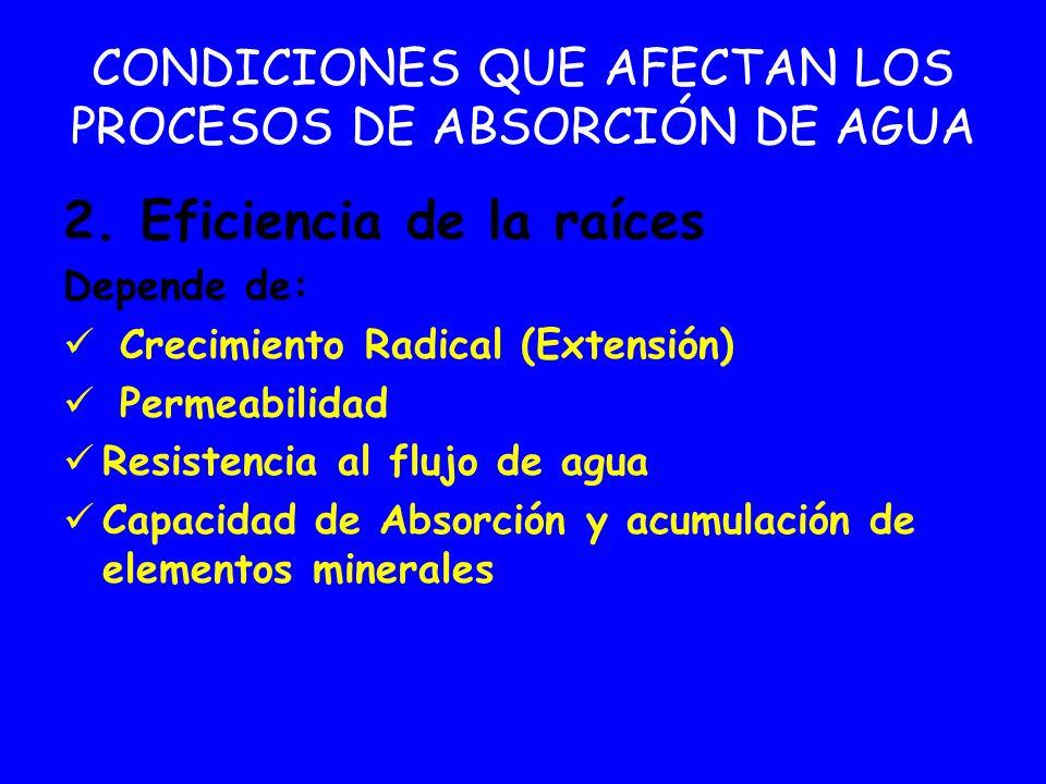 CONDICIONES QUE AFECTAN LOS PROCESOS DE ABSORCIÓN DE AGUA 2. Eficiencia de la raíces Depende de: Crecimiento Radical (Extensión) Permeabilidad Resiste