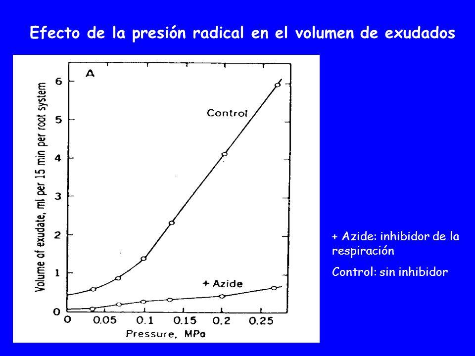 + Azide: inhibidor de la respiración Control: sin inhibidor Efecto de la presión radical en el volumen de exudados