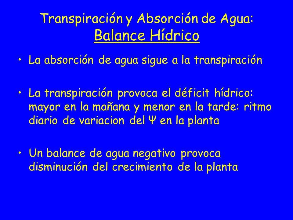 Transpiración y Absorción de Agua: Balance Hídrico La absorción de agua sigue a la transpiración La transpiración provoca el déficit hídrico: mayor en