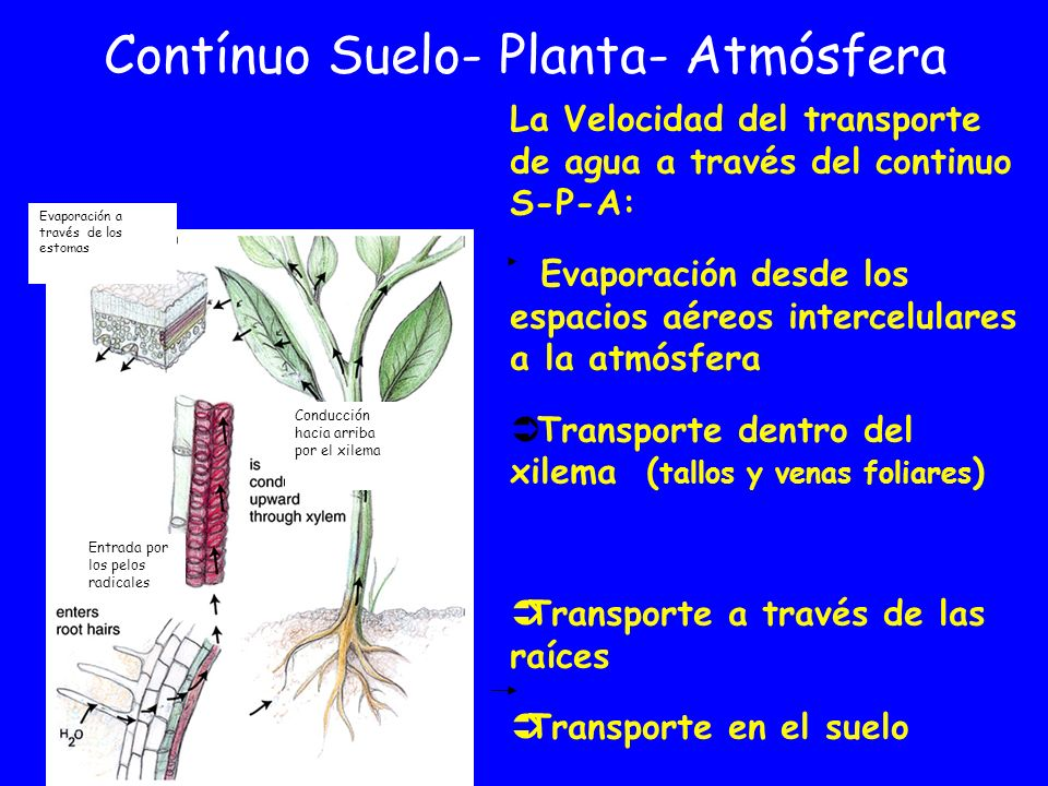 Contínuo Suelo- Planta- Atmósfera La Velocidad del transporte de agua a través del continuo S-P-A: Evaporación desde los espacios aéreos intercelulare